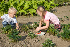 Berry it is time. Children collect a strawberry in garden Royalty Free Stock Images