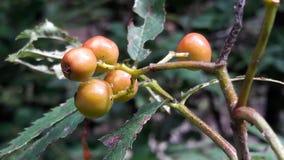 Berry Tree Fotografia Stock Libera da Diritti