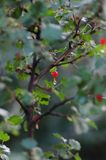 Berry Tree. A berry tree with water droplets stock photo