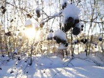 Berry tree in winter. Snow covered berry tree with trees and the sun shining through them in the background Stock Images