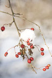 Berry under snow. Red berry under the snow in a sunny day Royalty Free Stock Photography