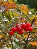 Berry viburnum Royalty Free Stock Image