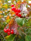 Berry viburnum Stock Photo