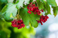 Berry viburnum Stock Photos