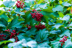 Berry viburnum Royalty Free Stock Photo