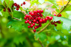 Berry viburnum Royalty Free Stock Photography