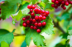 Berry viburnum Royalty Free Stock Photos