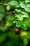 Berry of wild dog rose (rosa canina) Royalty Free Stock Images