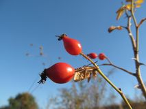 Berry of wild rose bask in the autumn sun. Berry of wild rose against the blue sky, September, autumn, plants Stock Image