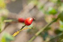 Berry wild rose on a bush Stock Photography