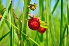 Berry wild strawberries growing in the grass in the forest Royalty Free Stock Images