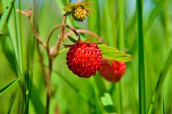 Berry wild strawberries growing in the grass in the forest Stock Images