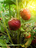 Berry wild strawberry. In a beam of the sun Stock Photo