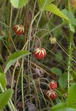 Berry of wild wild strawberry. The berry of wild wild strawberry grows in a grass stock images