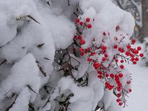 Berry Winter stock images