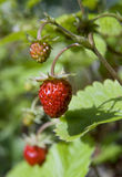 Berry wood. Wild strawberry on a green background Royalty Free Stock Photo