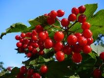 Berryes del árbol de la bola de nieve Fotografía de archivo libre de regalías