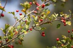Berryes on hawthorn tree twig Royalty Free Stock Image