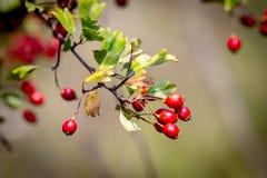 Berryes on hawthorn twig Stock Photo