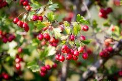 Berryes of hawthron tree Stock Photos
