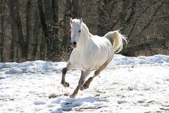 Überspringendes weißes Pferd Lizenzfreies Stockfoto