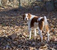 Bert el perro de aguas de Bretaña marrón y blanco Fotografía de archivo