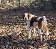 Bert het bruine en witte Spaniel van Bretagne Stock Fotografie