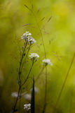 Berteroa incana at sunset. Very beautiful flower in the meadow some weeds among them- berteroa incana Royalty Free Stock Images
