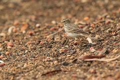 Berthelot pipit Royalty Free Stock Images