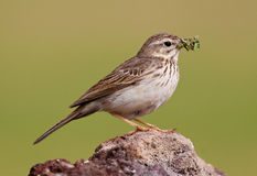 Berthelot`s Pipit Royalty Free Stock Images