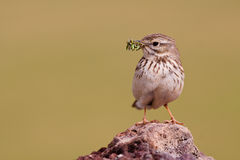 Berthelot`s Pipit Stock Photo