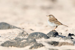 Berthelot`s pipit. Profile portrait of Berthelot`s pipit standing on a black volcanic rock on a sandy beach stock photo