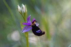 Bertolonii del Ophrys de la orquídea de abeja de Bertolonis Fotos de archivo