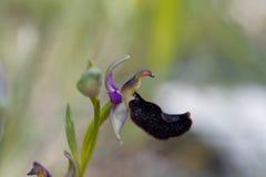 Bertolonii del Ophrys de la orquídea de abeja de Bertolonis Fotos de archivo libres de regalías