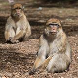 Bertuccia夫妇或者Barberia ` s猴子 库存图片