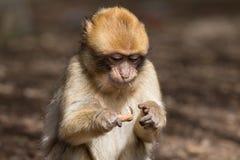 Bertuccia小狗或者Barberia猴子 库存图片