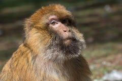 Bertuccia成年男性或者Barberia猴子 他是在地图集居住在摩洛哥的大主教哺乳动物 免版税库存照片
