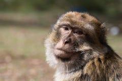 Bertuccia或者Barberia ` s猴子,是居住在地图集的大主教哺乳动物在摩洛哥 库存图片