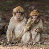 Bertuccia, of de aap van Barberia ` s, zijn een primaatzoogdier die in Atlas in Marokko leven Royalty-vrije Stock Foto