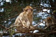 Bertuccia, of de aap van Barberia ` s, zijn een primaatzoogdier die in Atlas in Marokko leven Stock Foto's