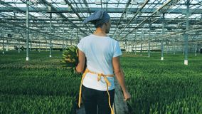 Berufsflorist geht nahe den Blumenbeeten und hält ein Bündel Tulpen stock video footage