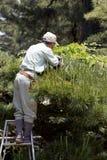 Berufsgärtnerbeschneidung ein Baum Stockfoto