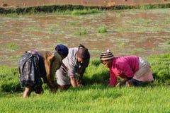 Berufstätige Frauen drei auf den Reisgebieten von Betafo, Madagaskar Stockfotografie