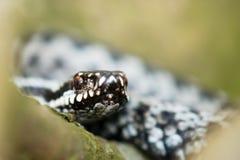 berus详细资料蝰蛇属 免版税库存图片