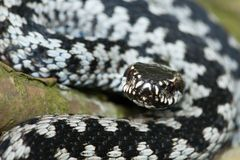 berus详细资料蝰蛇属 免版税库存照片