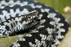 berus详细资料蝰蛇属 图库摄影