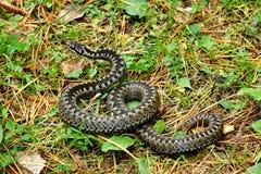 Berus гадюки сумматора крупного плана европейское Ядовитая змейка в листве осени Подготавливает атаковать древесина песни природы стоковое изображение