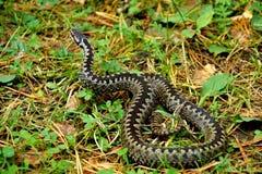 Berus гадюки сумматора крупного плана змейка европейского ядовитая в листве осени подготавливает атаковать дикую природу стоковое изображение