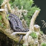 Berus гадюки змейки сумматора ослабляя на дереве в солнечном свете лета Стоковое Изображение