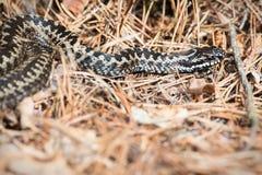 欧洲加法器或蝰蛇属berus在森林地板上 免版税库存照片